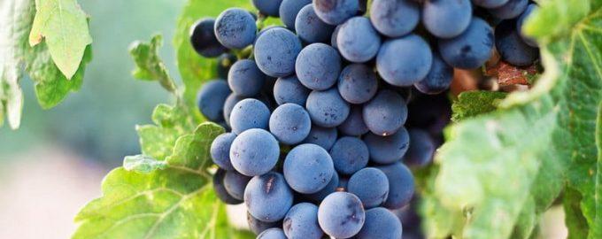 виноград це фрукт чи ягода