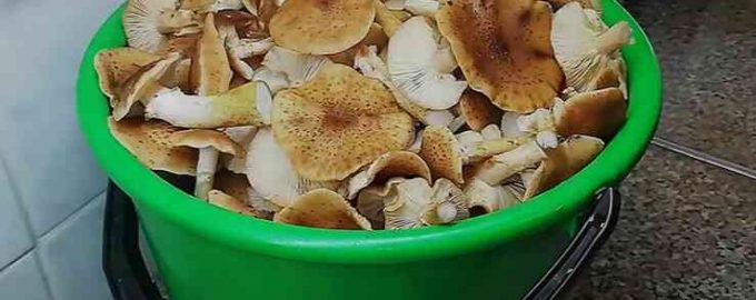 Солоні опеньки —найсмачніший рецепт